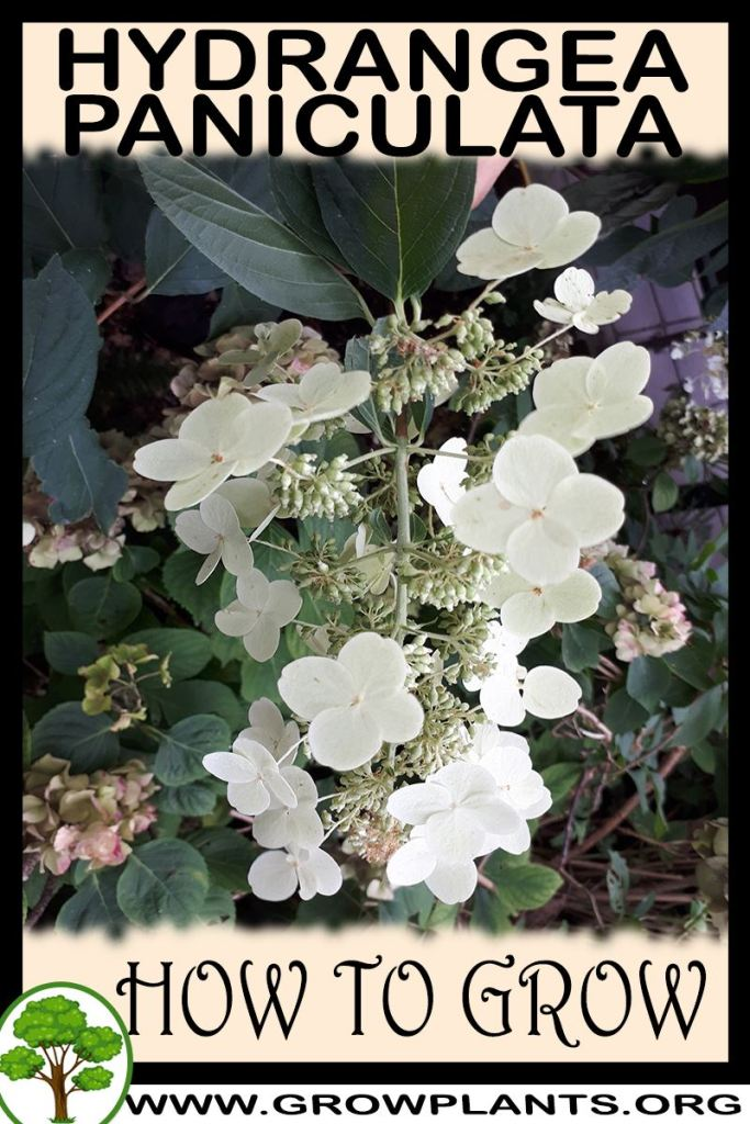How to grow Hydrangea paniculata