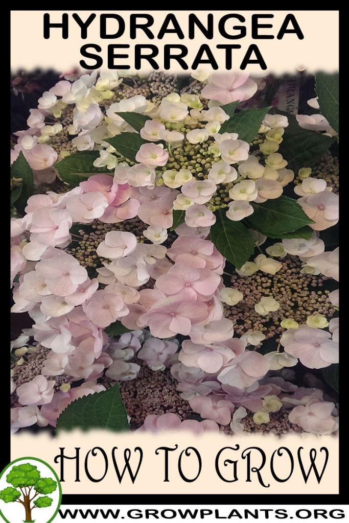 How to grow Hydrangea serrata