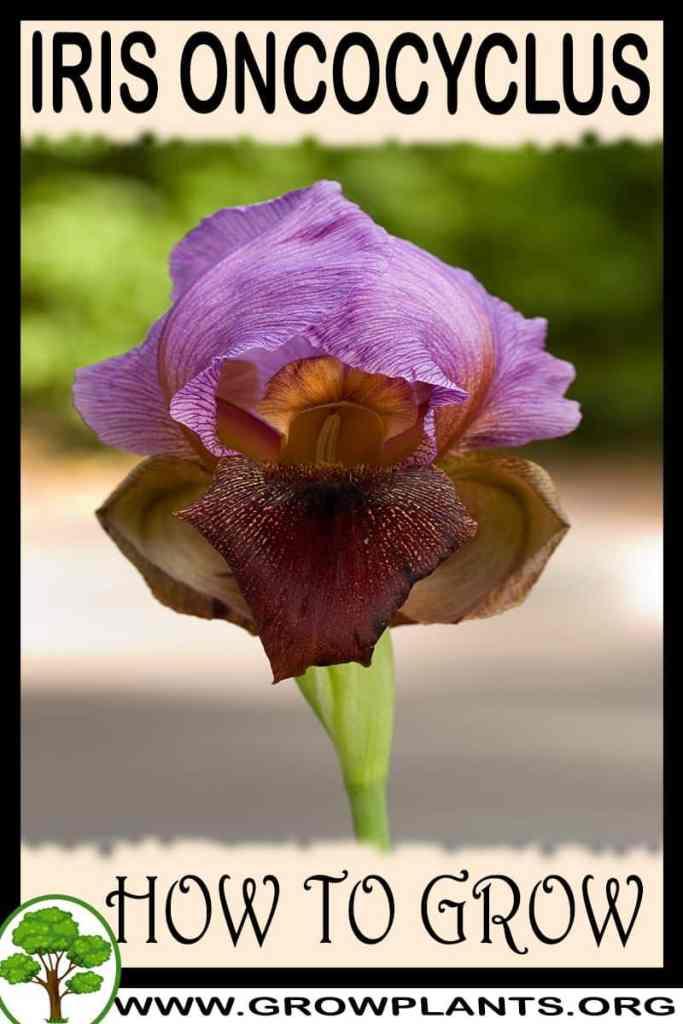 How to grow Iris oncocyclus