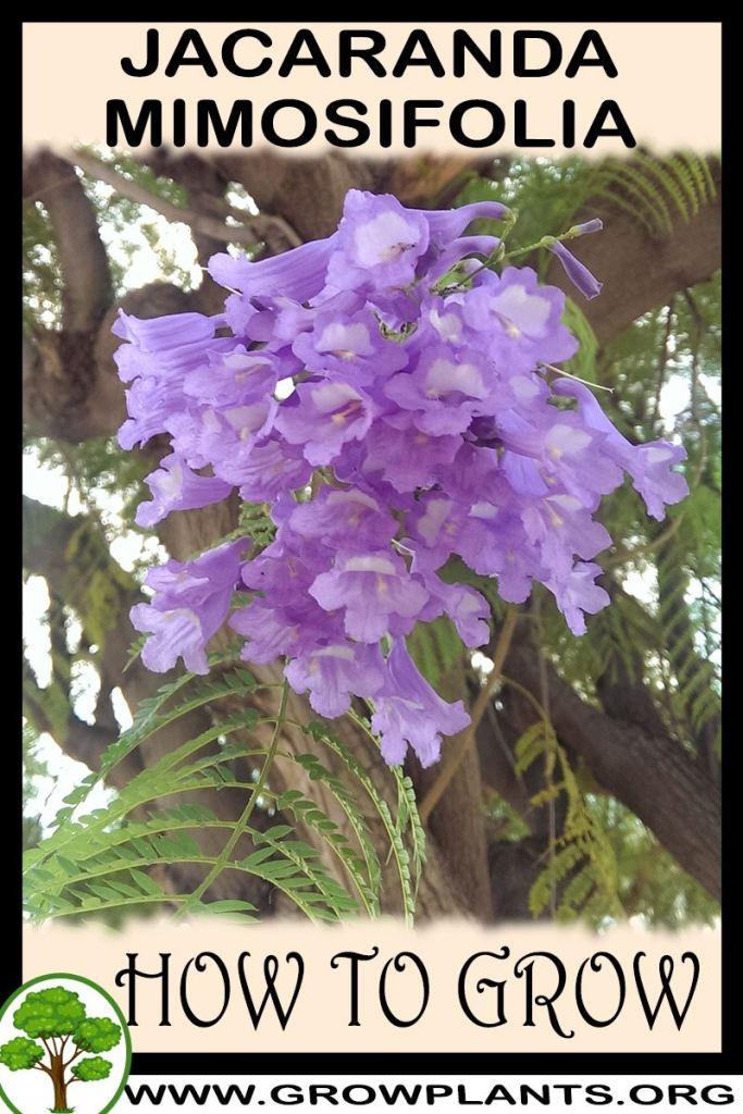 How to grow Jacaranda mimosifolia