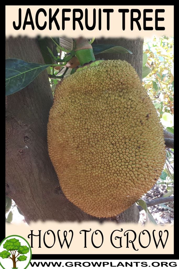 How to grow Jackfruit tree