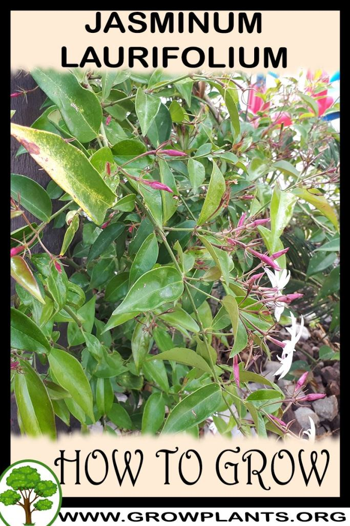 How to grow Jasminum laurifolium