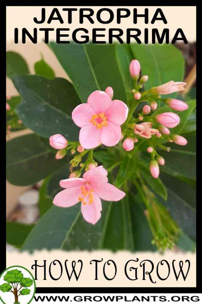 How to grow Jatropha integerrima