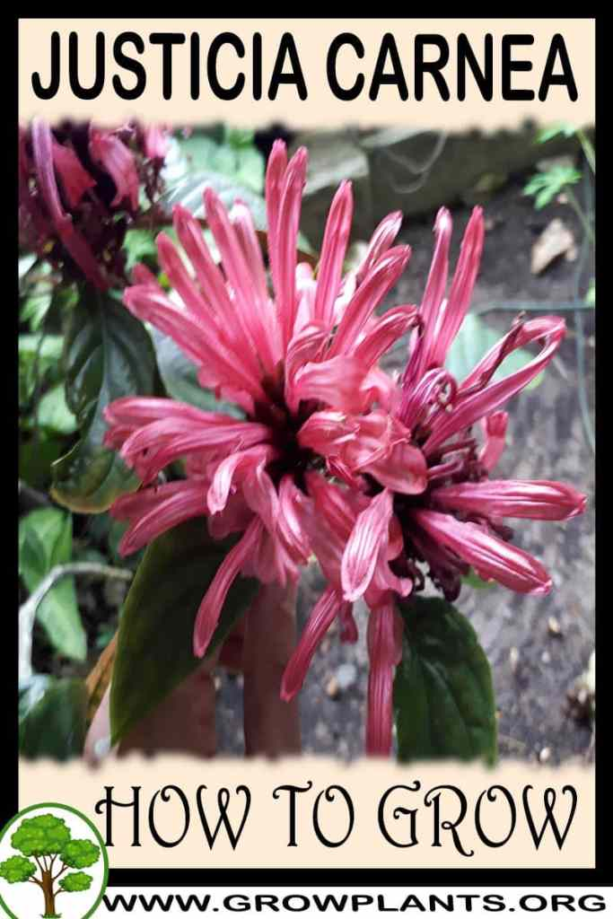How to grow Justicia carnea