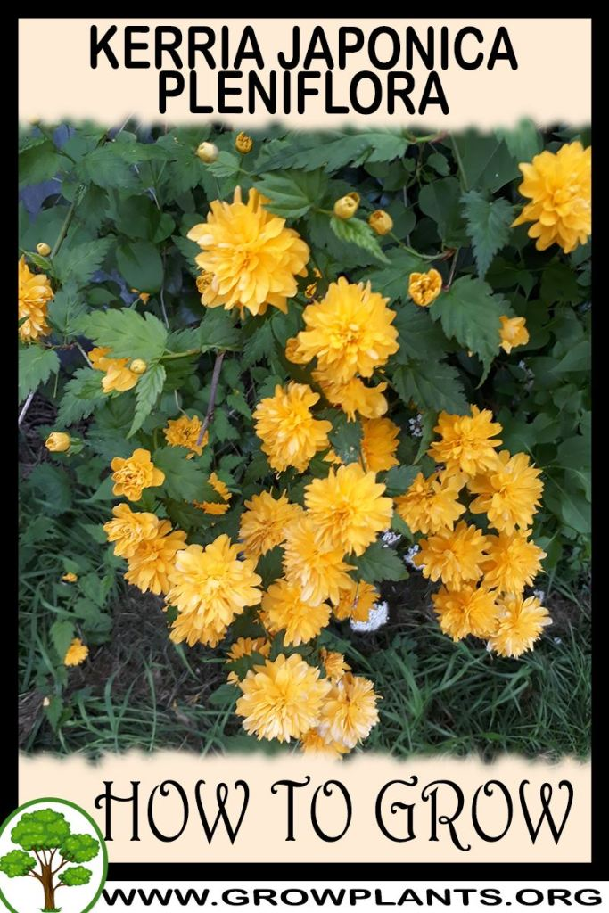 How to grow Kerria japonica Pleniflora