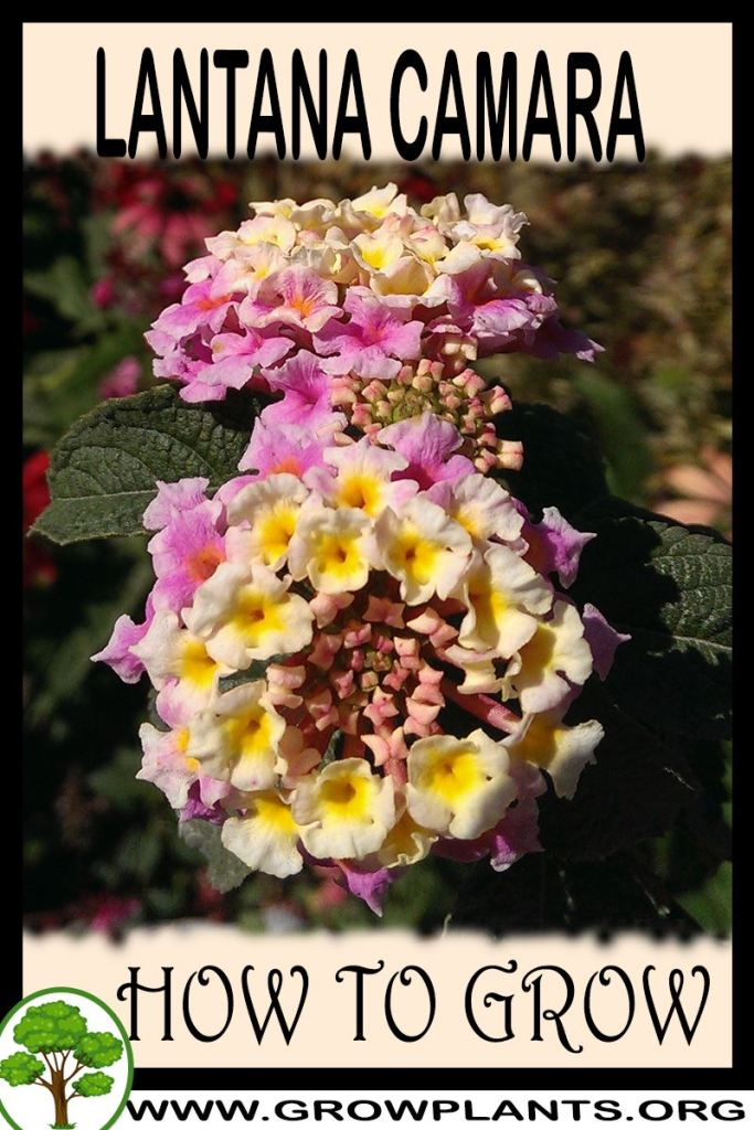 How to grow Lantana camara