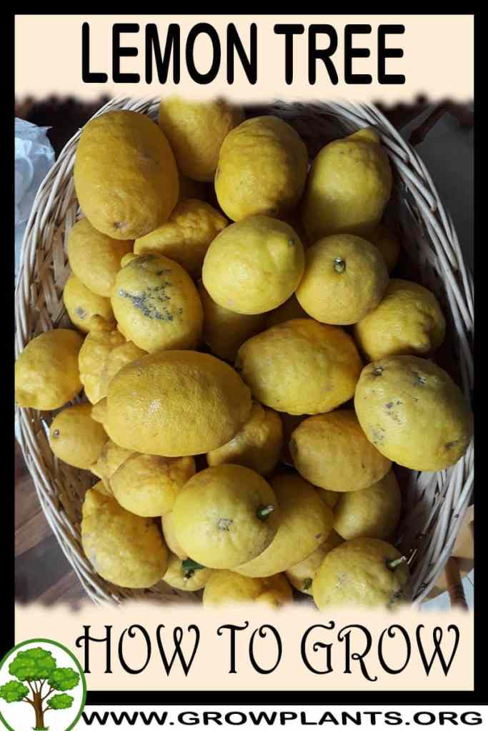 How to grow Lemon tree