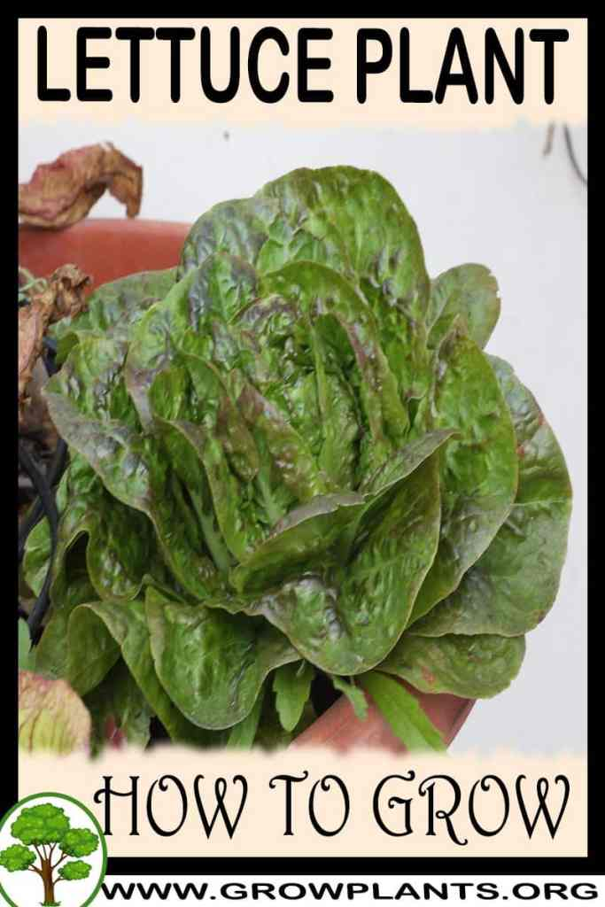 How to grow Lettuce plant