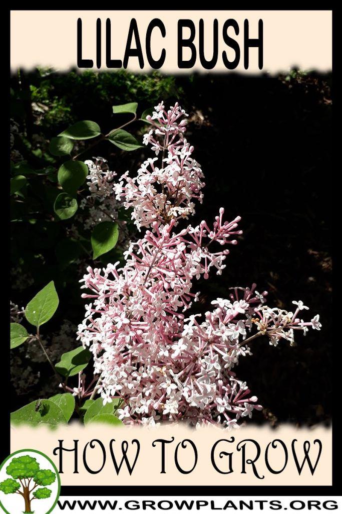 How to grow Lilac bush