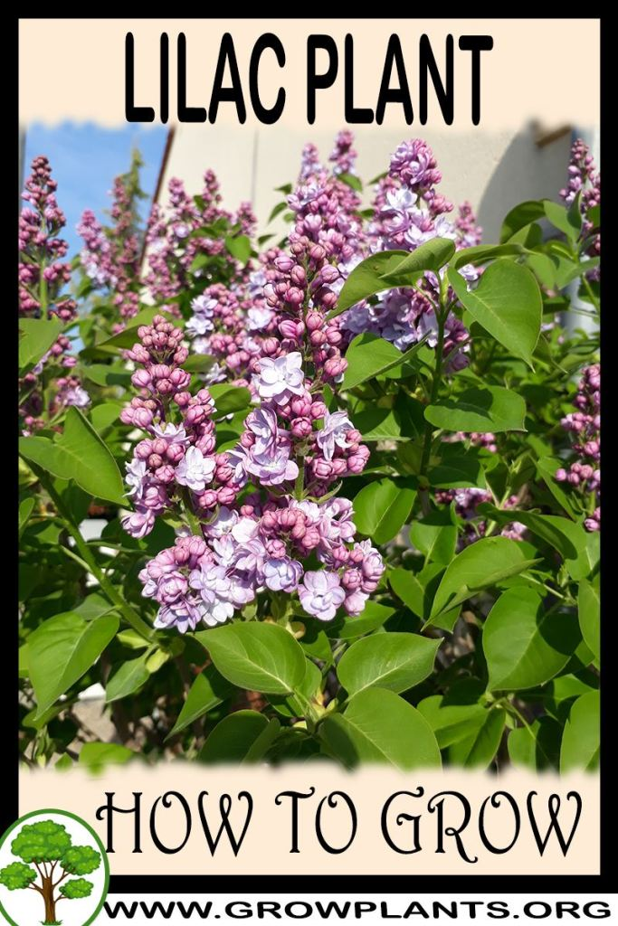How to grow Lilac plant