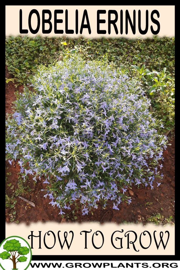 How to grow Lobelia erinus