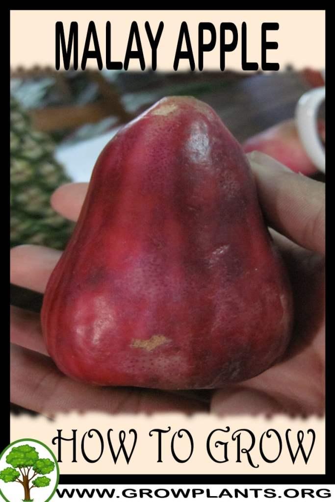 How to grow Malay apple
