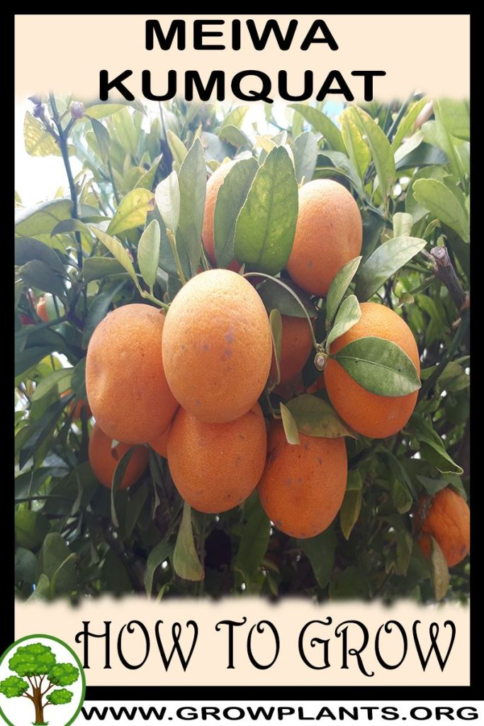 How to grow Meiwa kumquat