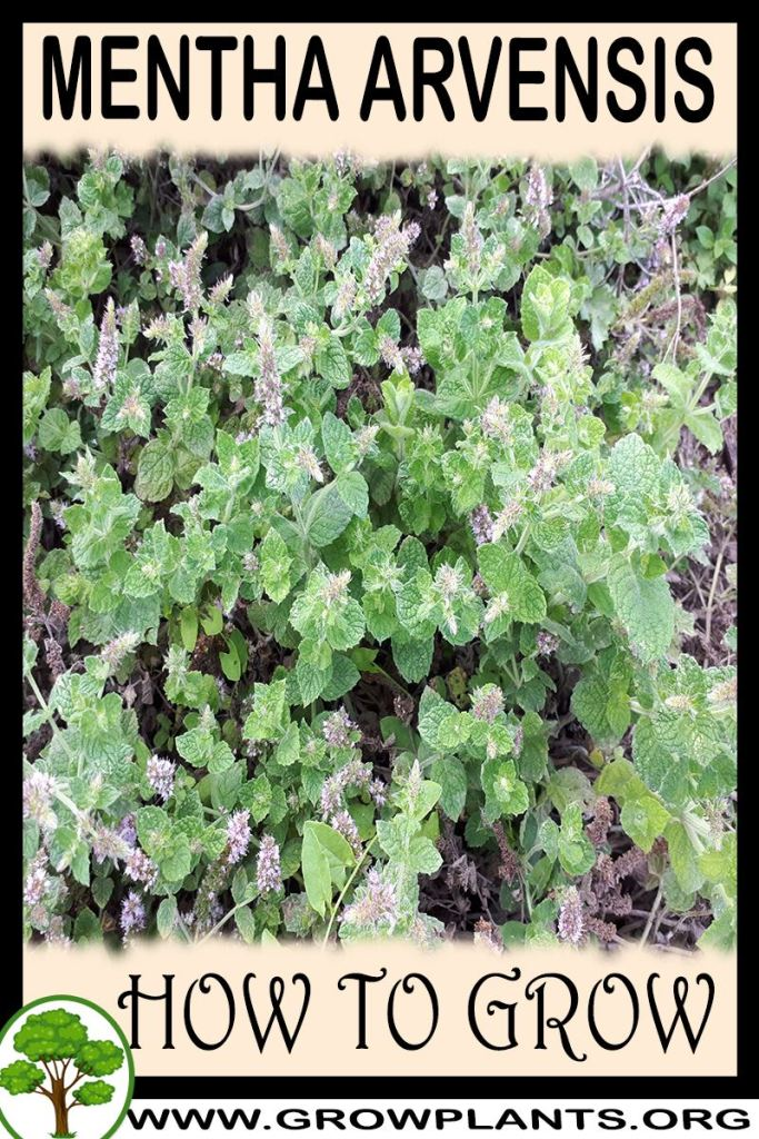 How to grow Mentha arvensis