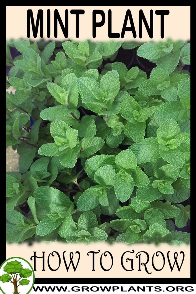 How to grow Mint plant