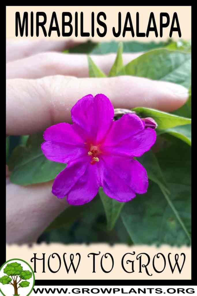 How to grow Mirabilis jalapa