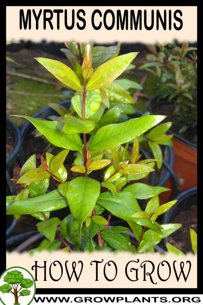How to grow Myrtus communis