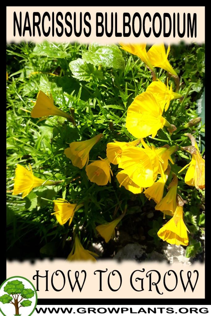 How to grow Narcissus bulbocodium