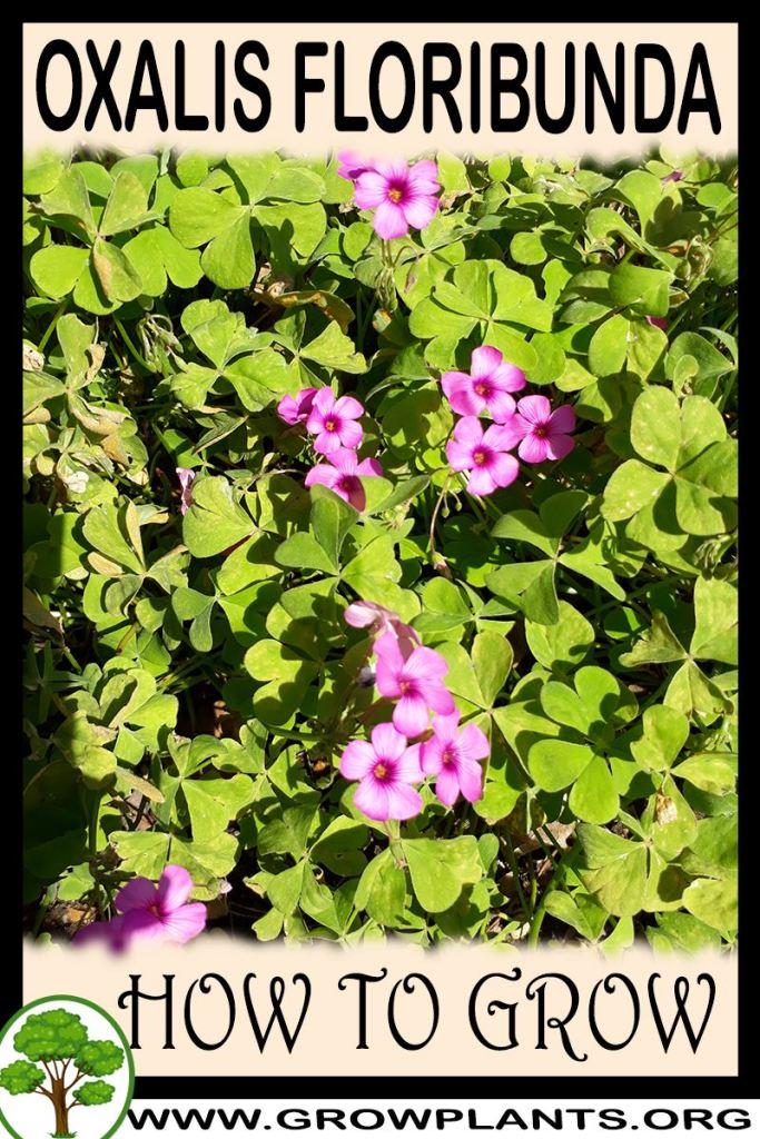 How to grow Oxalis floribunda