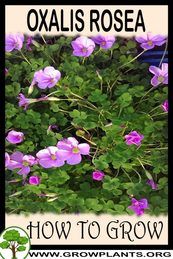 How to grow Oxalis rosea