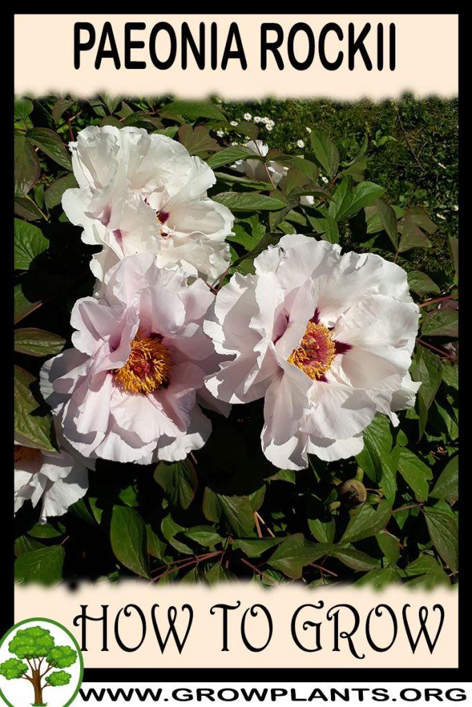 How to grow Paeonia rockii
