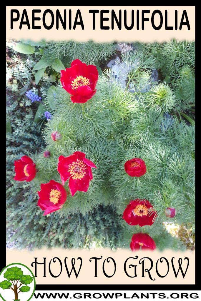 How to grow Paeonia tenuifolia