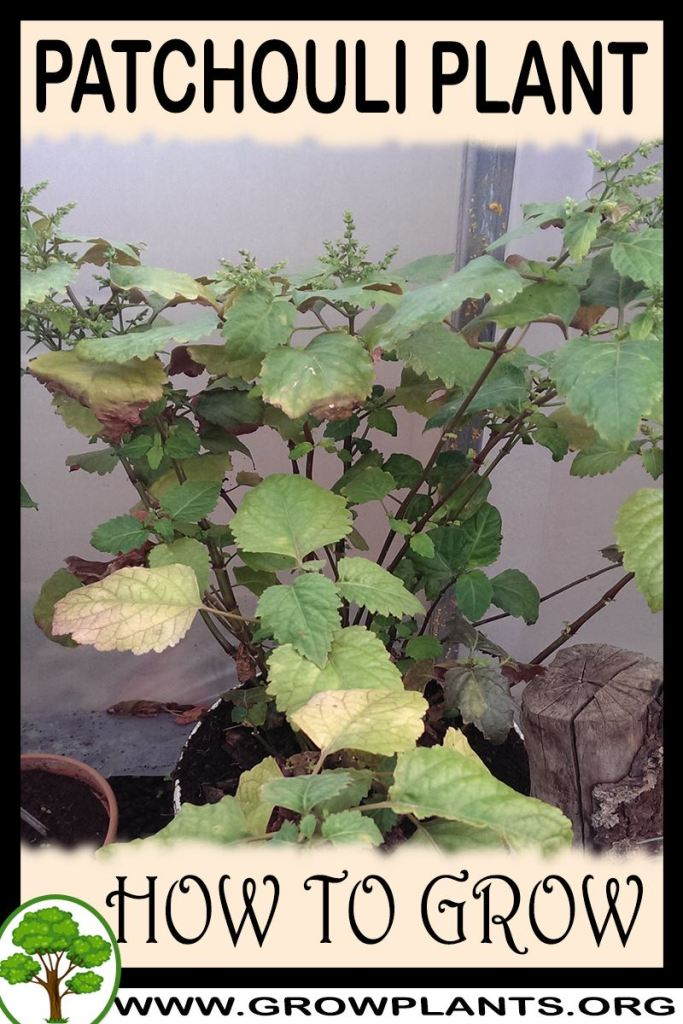 How to grow Patchouli plant