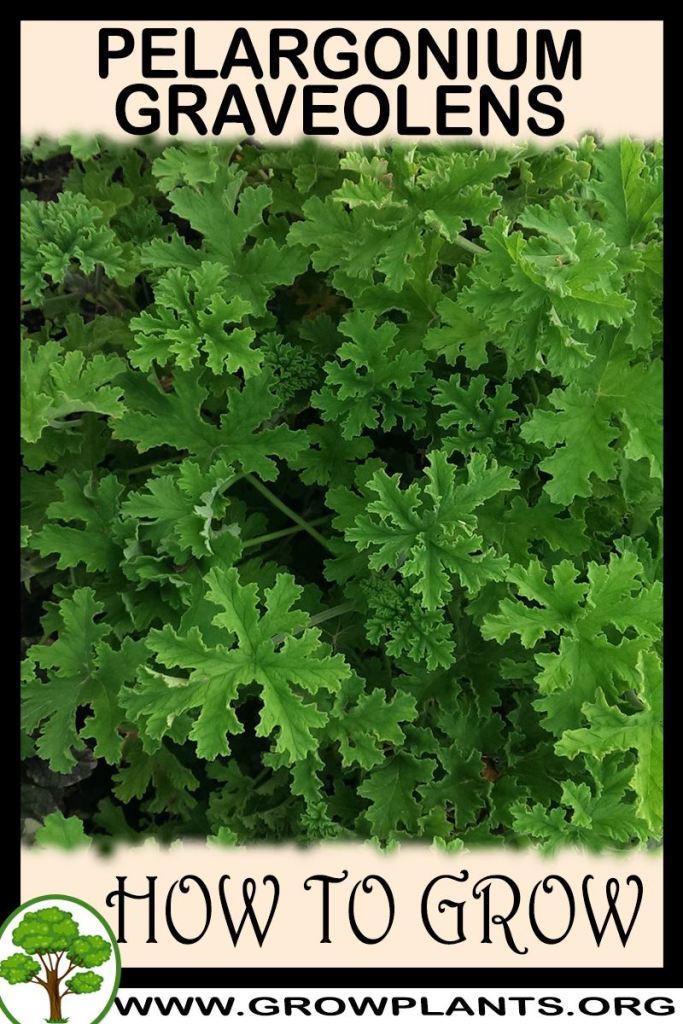 How to grow Pelargonium graveolens