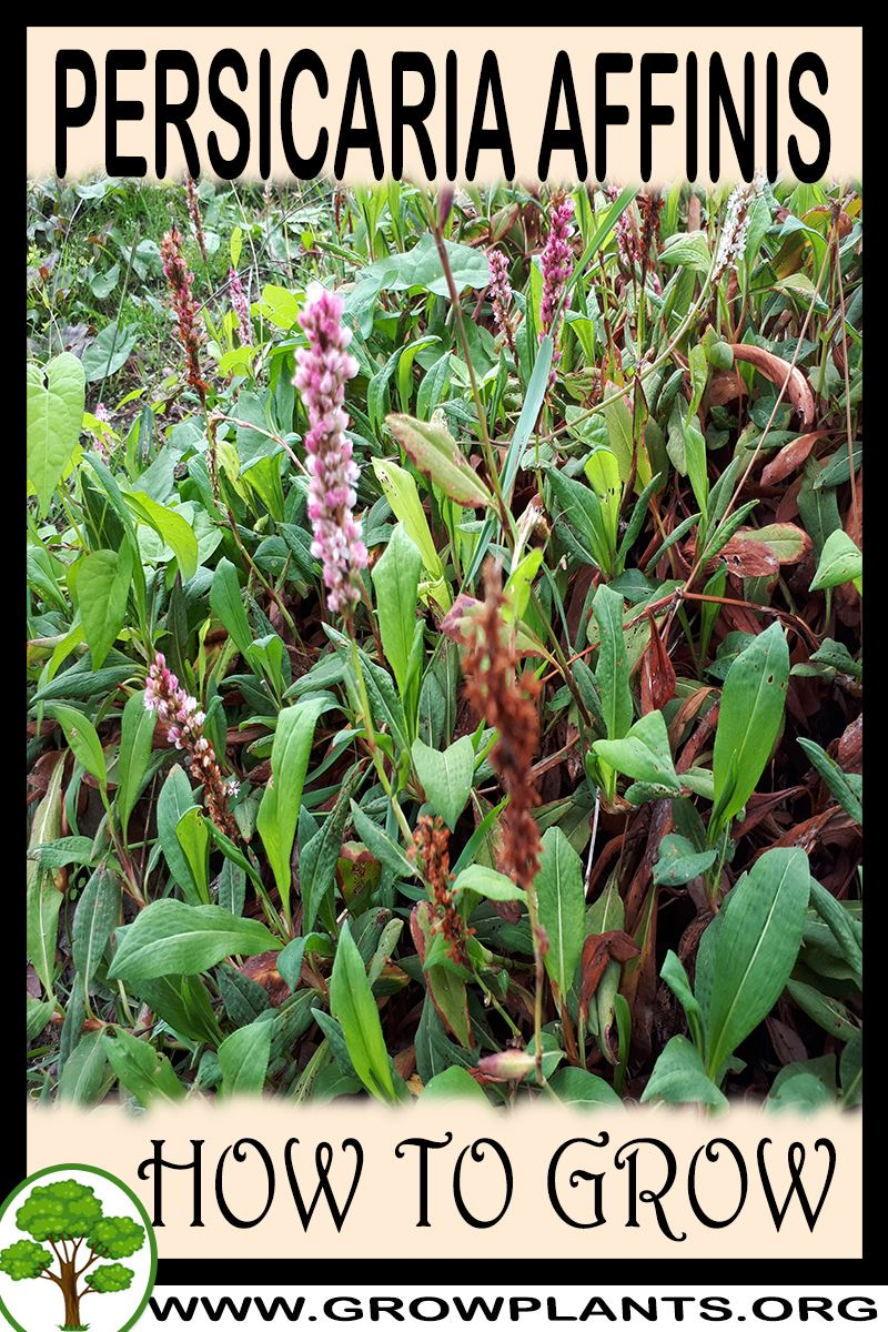 How to grow Persicaria affinis