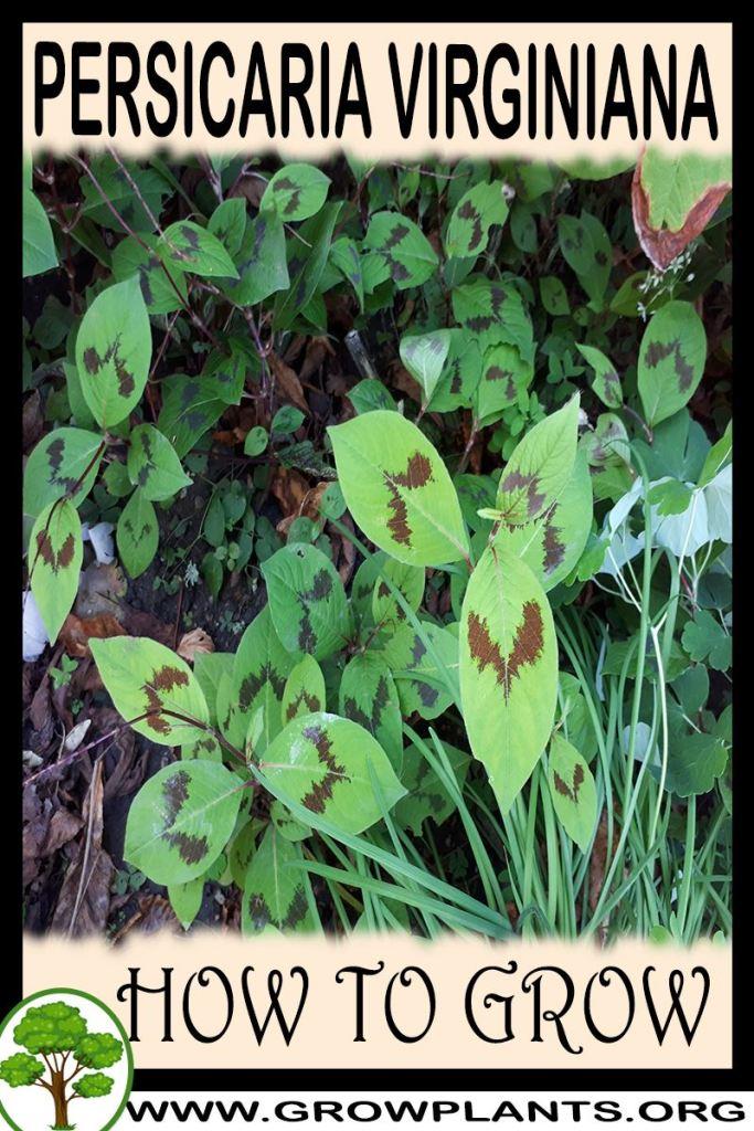How to grow Persicaria virginiana