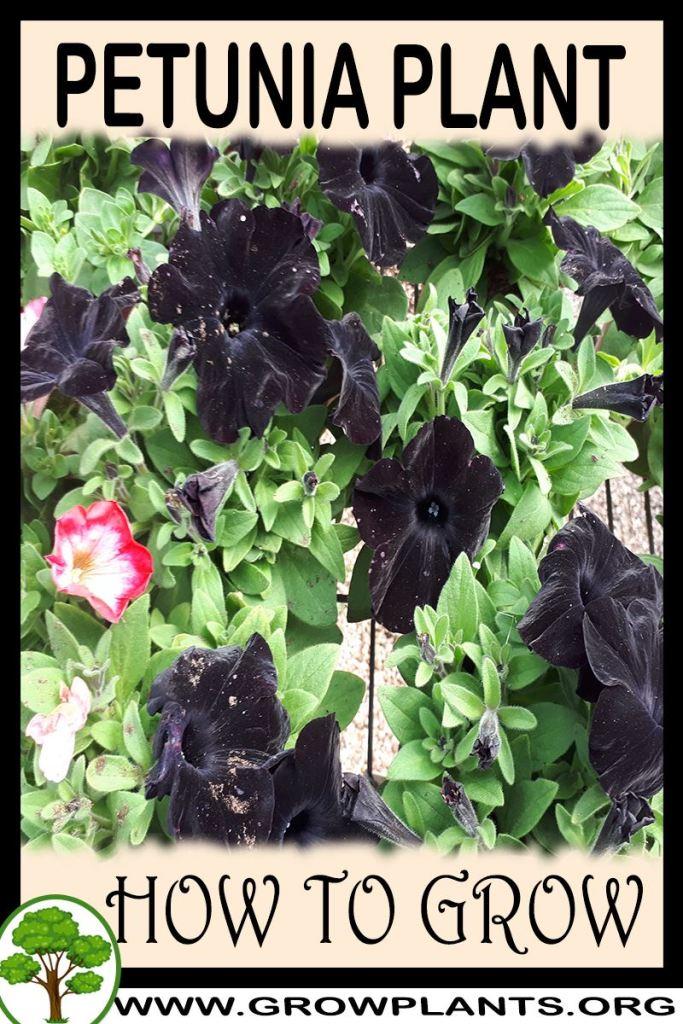 How to grow Petunia