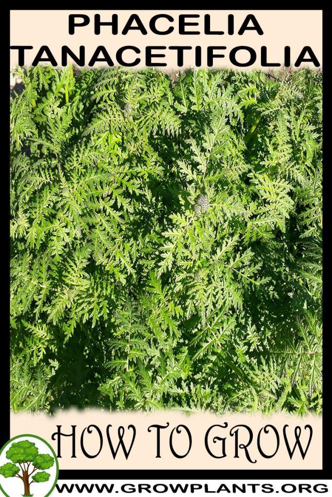 How to grow Phacelia tanacetifolia