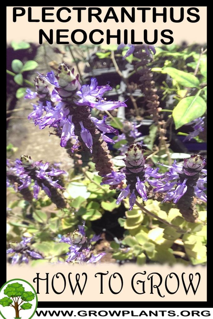 How to grow Plectranthus neochilus