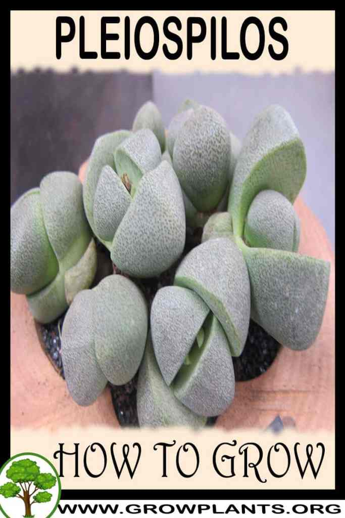 How to grow Pleiospilos