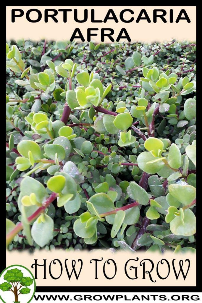 How to grow Portulacaria afra