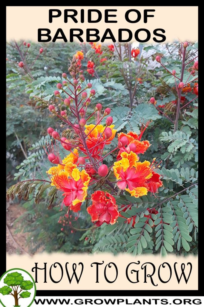 How to grow Pride of barbados