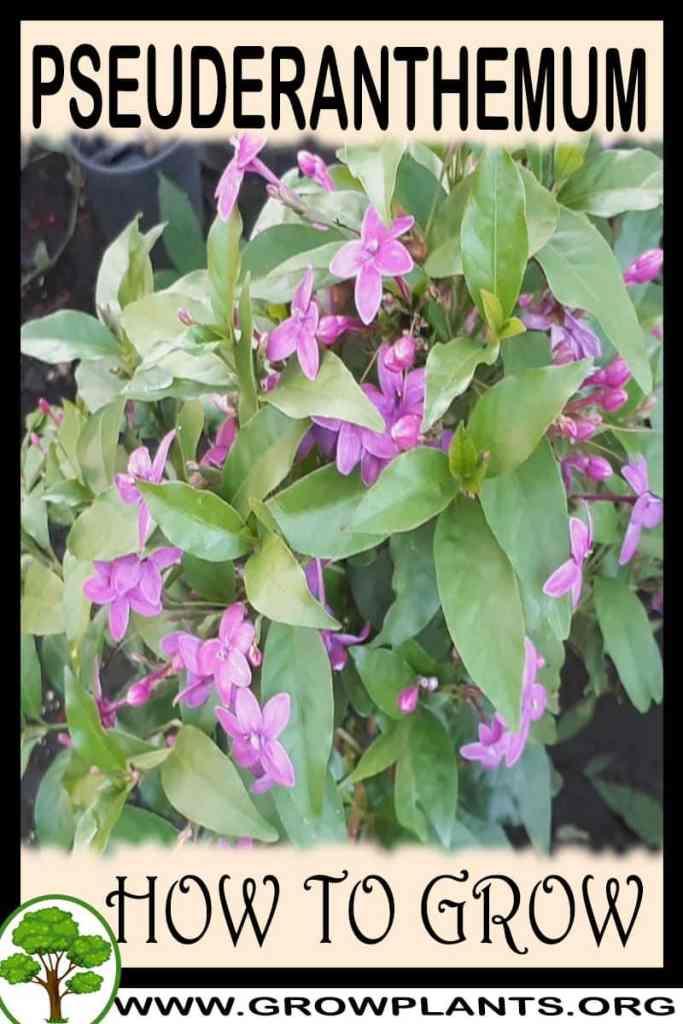 How to grow Pseuderanthemum