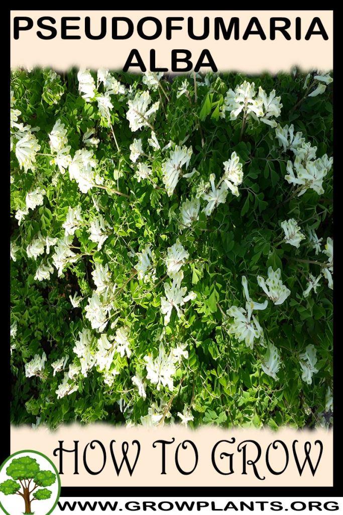 How to grow Pseudofumaria alba
