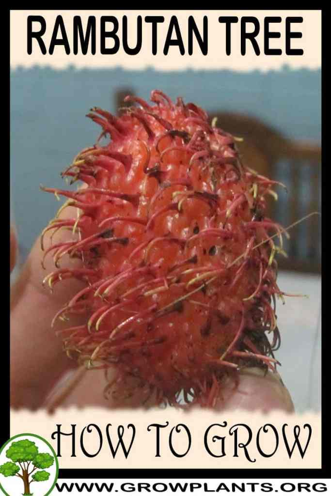 How to grow Rambutan tree