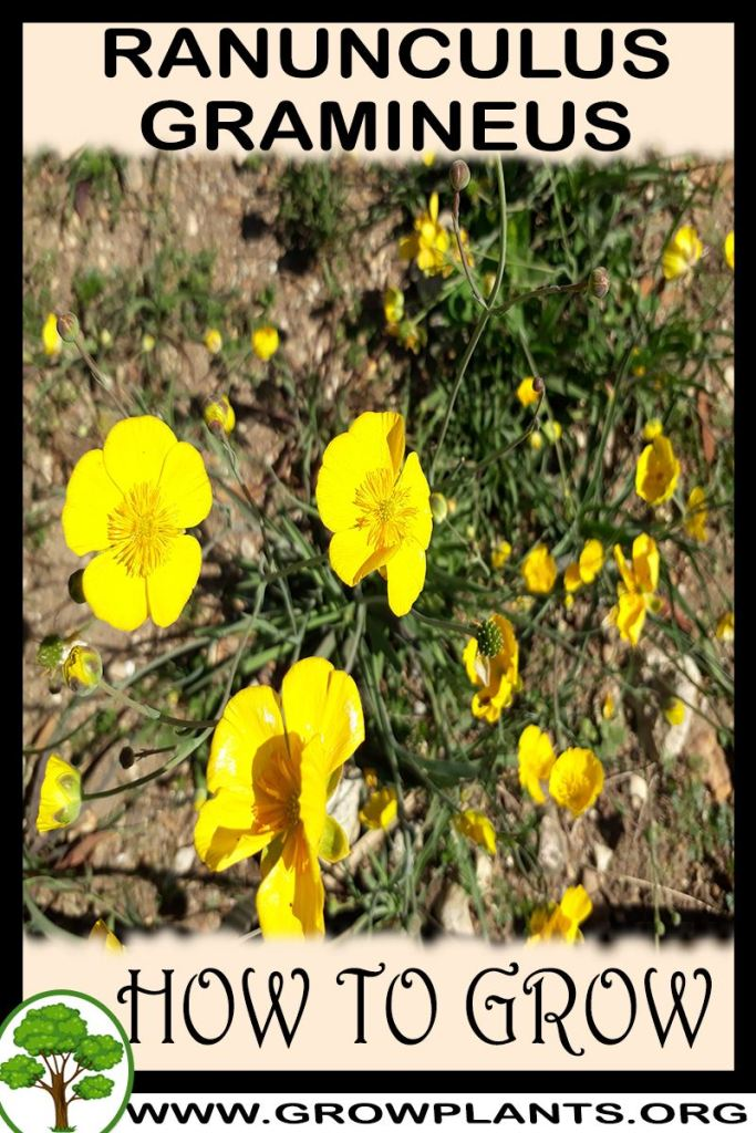 How to grow Ranunculus gramineus