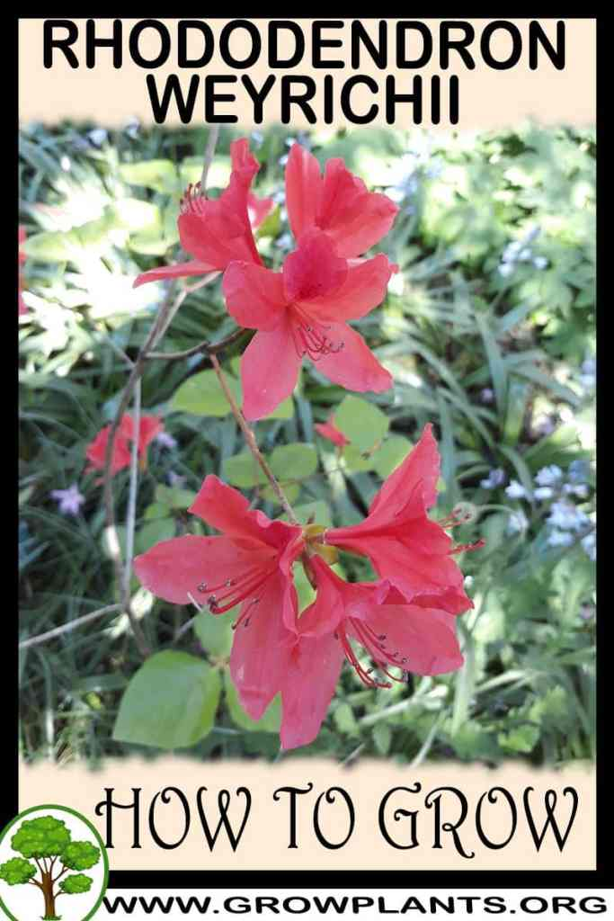 How to grow Rhododendron weyrichii