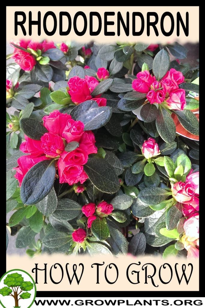 How to grow Rhododendron