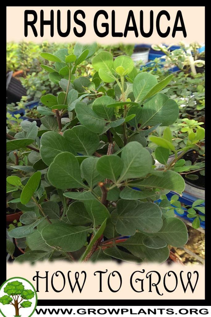 How to grow Rhus glauca