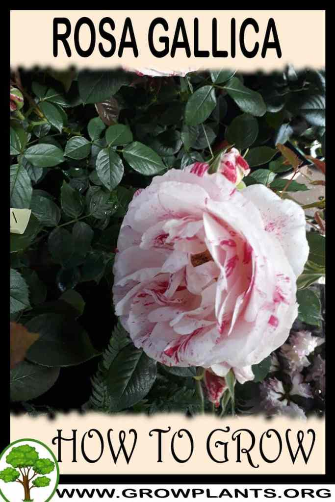 How to grow Rosa gallica