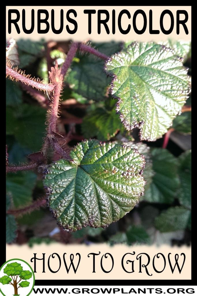 How to grow Rubus tricolor