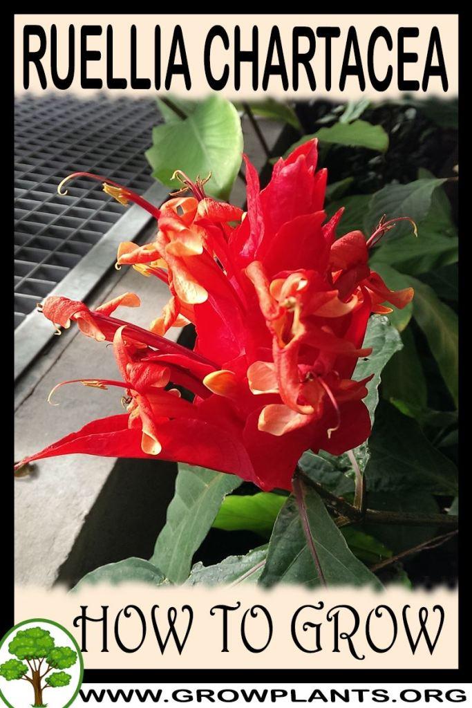How to grow Ruellia chartacea