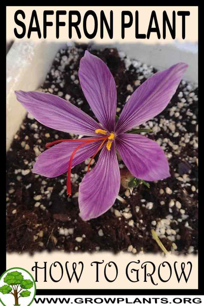 How to grow Saffron plant