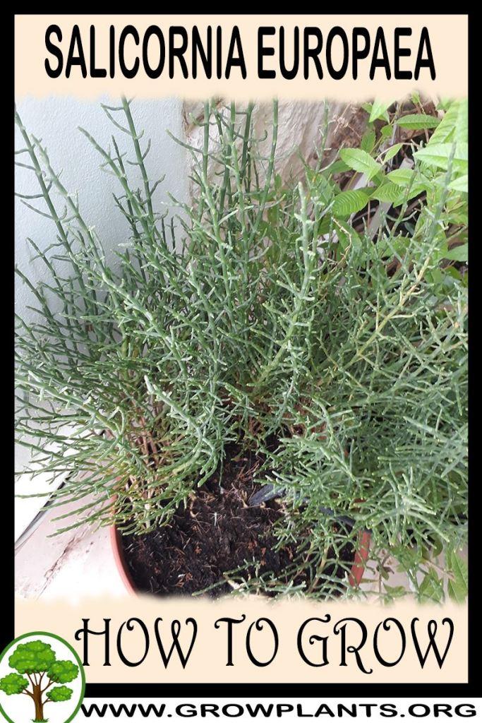 How to grow Salicornia europaea