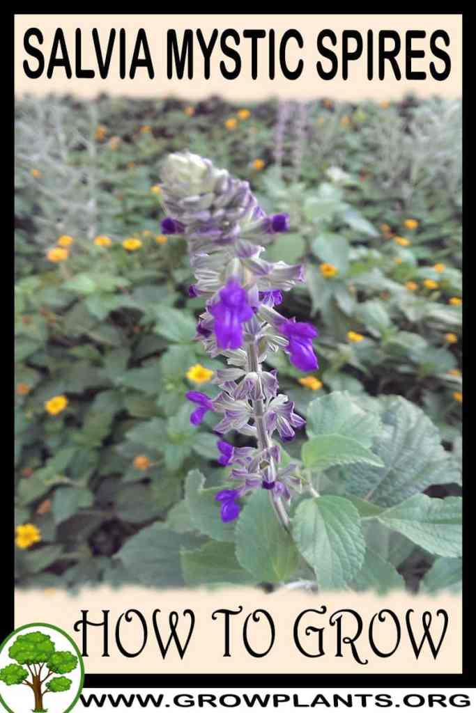 How to grow Salvia mystic spires