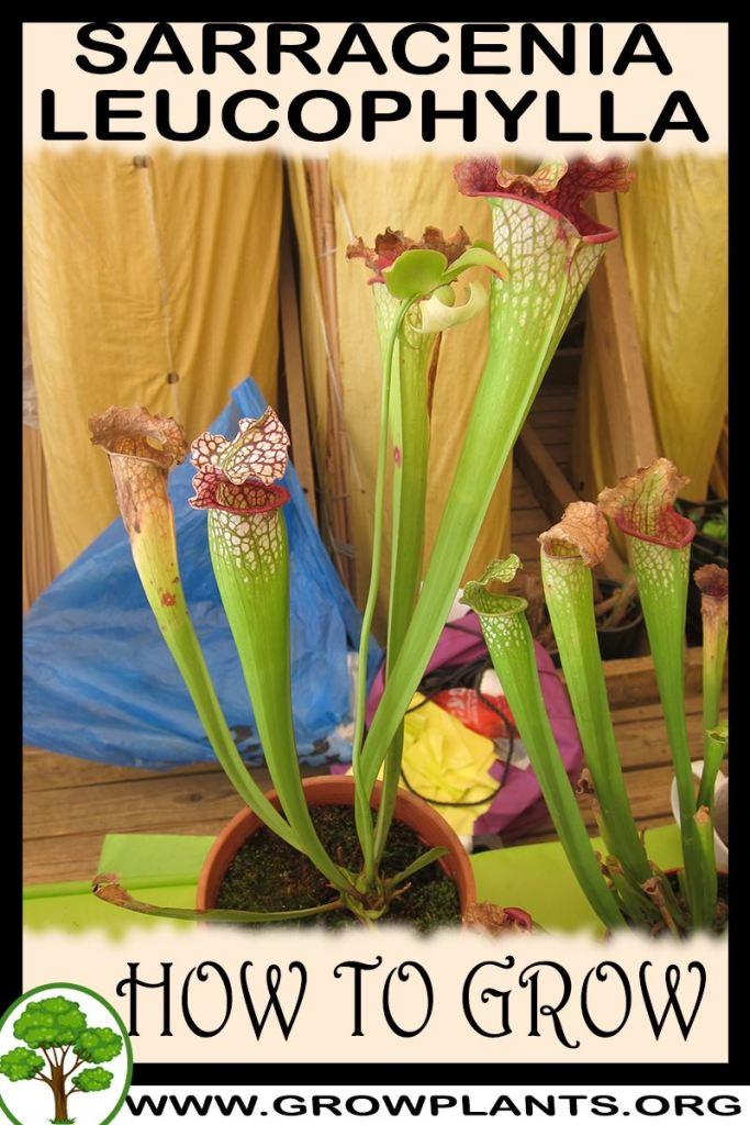 How to grow Sarracenia leucophylla